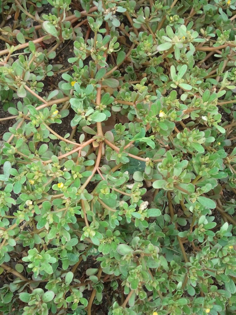 Growing Purslane How To Grow Edible Purslane In The Garden: Growing Food With Water Restrictions